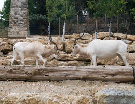 mountain goats: Due capre di montagna butt reciprocamente