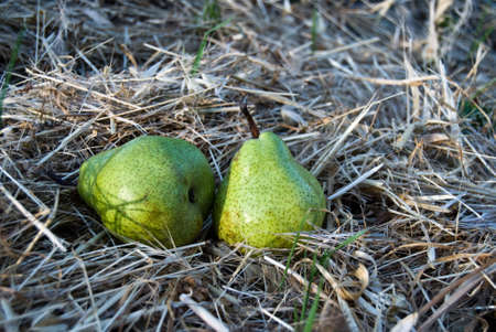 Two ripe pears on the dry grass in garden Stock Photo