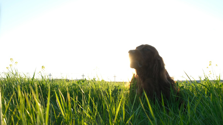 Cheerful active dog lying in the grass at sunset in the summer. Irish setter tumbling on nature chewing grass and flowers