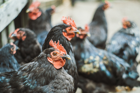 Black cocks and hens look at the camera in the village