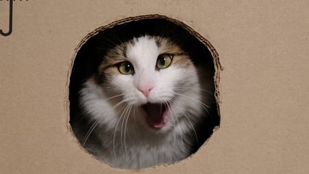 Funny cat gnaws a cardboard box with a hole to enter inside, yawns like a lion