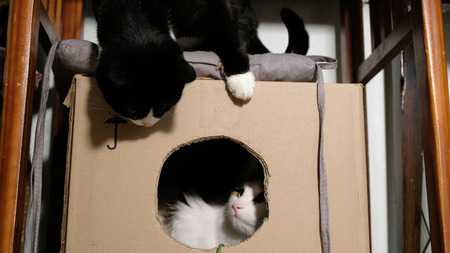 Black and white cat playing with each other in a cardboard box