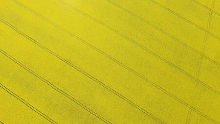pictorial endless yellow blooming field with black tractor wheel traces on sunny day vertical aerial view
