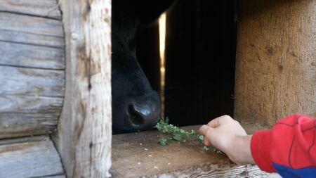 child hand gives cow green fresh leaves through brown window