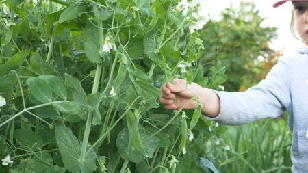 little girl picks ripe green pea pods from stem with flowers Stockfoto