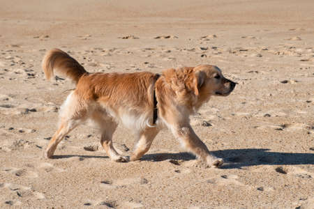 Beautiful golden Labrador runs along the beach with its tail raised