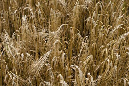 Beautiful wheat field background