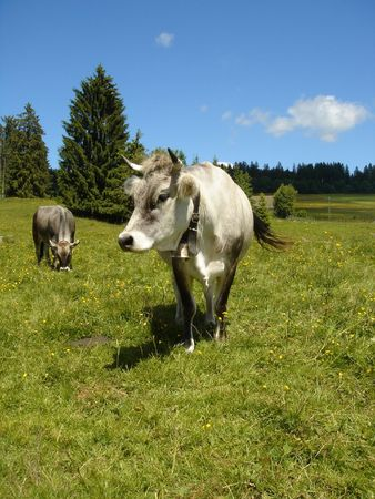 ruminate: two grey cows in the mountain Stock Photo