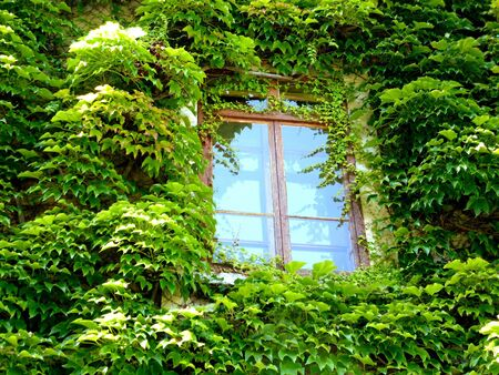 Ivy surrounding one window on a wall photo