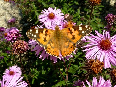 Orange butterfly on pink flower photo