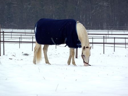 White horse wearing blue coat and eating on a snowy grass meadow surrounded by fences photo