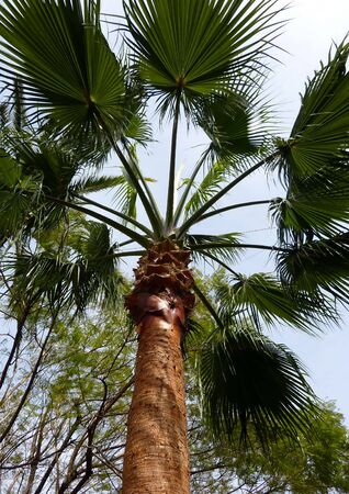 Palm tree with big circle leaves and beautiful trunk from under Stock Photo - 7078072