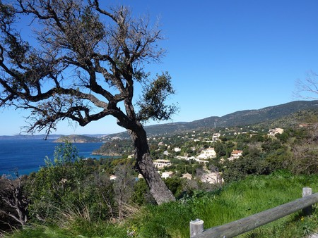 bended: Bended tree in front of a beautiful view upon the mediterranean sea and some vegetation and house on the coastline, south of France