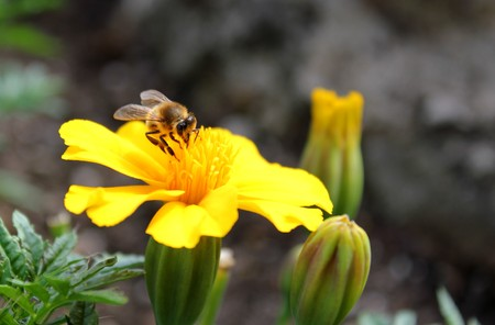 Bumblebee on a yellow flower photo