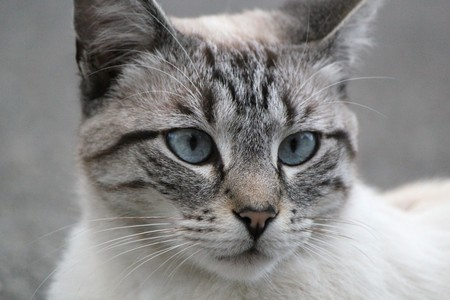Head of a beautiful grey cat with blue eyes Stock Photo