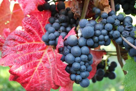 vineyard plain: Black grapevines surrounded by autumn red leaves Stock Photo