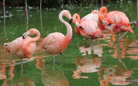 Several pink flamingos cleaning in water Stock Photo - 8032230