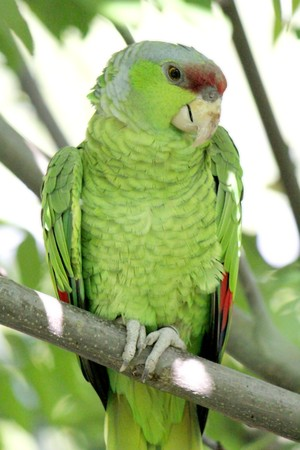 Military green parrot standing on a branch and looking at the photographer photo