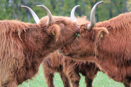 Portrait of  brown beautiful scottish cows the head upon the other and with their big horns photo