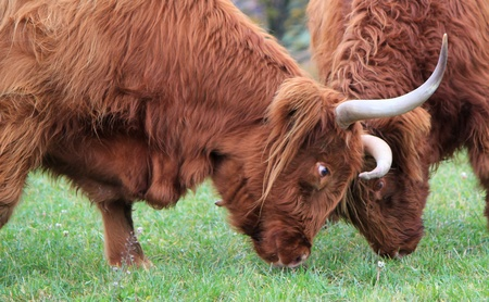 Two beautiful red highland cows fighting head against head in a meadow by autumn weather photo