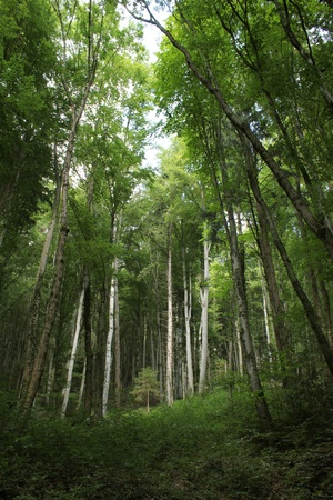 Lots of trunks in a green forest by summer Stock Photo - 8348428