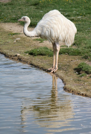 White emu standing next to a pond and ready to drink, its reflect in the water