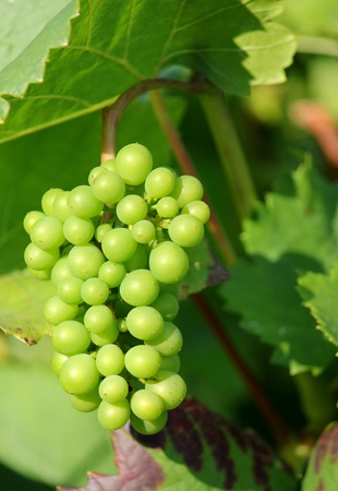 Sunny green grape surrounded by green leaves in a vineyard by summer Stock Photo - 8615992