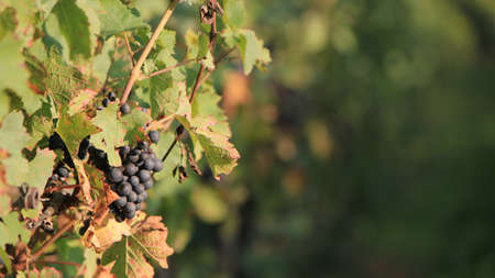 Sunny black grape surrounded by green leaves in a vineyrd by summer Stock Photo - 8615995