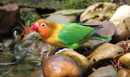 Bird agapornis-fischeri standing on stones next to water photo
