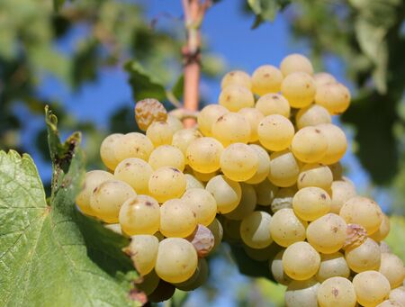 Sunny green grape surrounded by green leaves in a vineyard by summer Stock Photo - 8713613