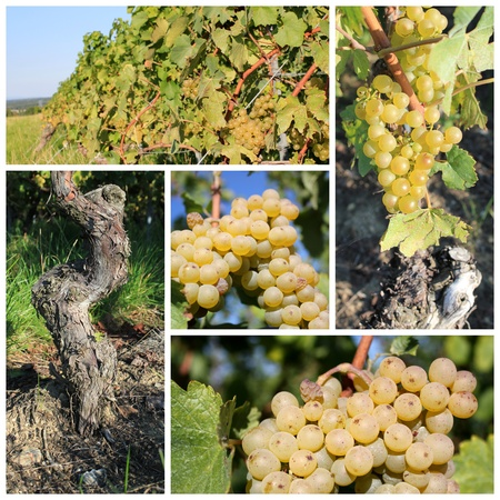 vineyard plain: Collage of sunny green grapes surrounded by green leaves in a vineyard by summer