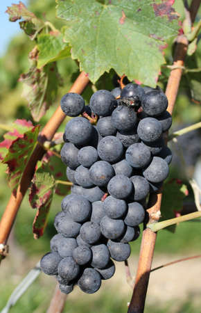 vineyard plain: Sunny black grape surrounded by green leaves in a vineyard by summer