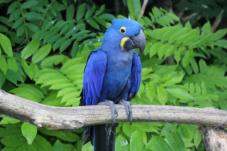 Hyacinthe macaw standing on a branch in a tropical plants background Stock Photo