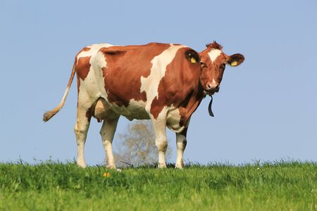 Brown and white cow standing in a meadow photo