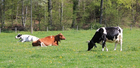 Black, brown and white cows of Fribourg canton, Switzerland, resting lying in a meadow of green grass and flowers photo
