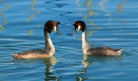 crested duck: Couple of two great crested grebe in front of each other and floating on blue water of lake of Geneva, Switzerland Stock Photo