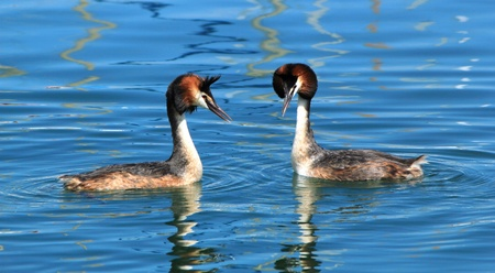Couple of two great crested grebe in front of each other and floating on blue water of lake of Geneva, Switzerland Stock Photo - 9750456