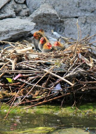 Black and red little ducklings in the nest next to a wall and the waterlake photo