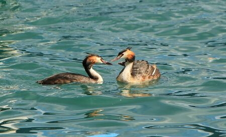 Couple of two great crested grebe in front of each other and floating on blue water of lake of Geneva, Switzerland Stock Photo - 10336461