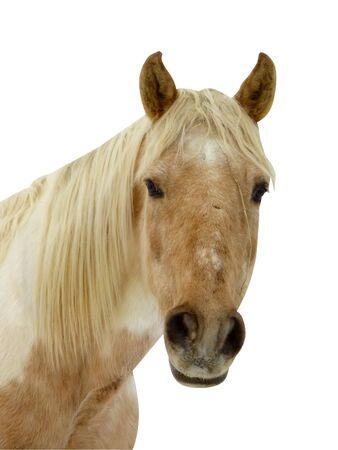 Portrait of a clear brown horse looking at the photographer in white background