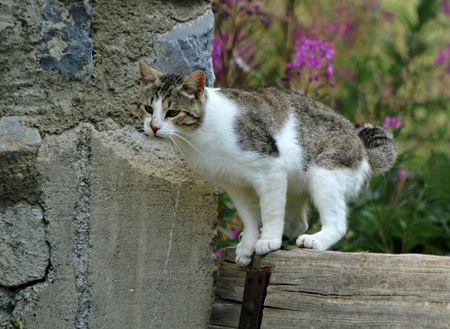 Wild white and grey cat standing on a piece of wood next to a wall and ready to jump photo