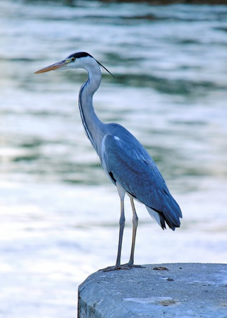 grey heron: Great blue heron standing on a wall in the city near the river