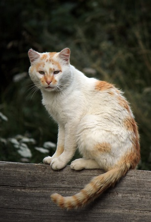 Wild white and red cat standing peacefully on a piece of wood in nature photo