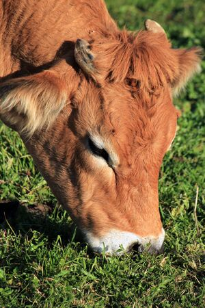 Portrait of a brown cow eating the green grass photo