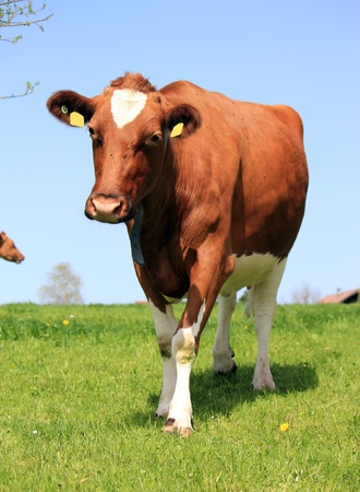 beef cattle: Brown and white cow walking toward the photograph in a green meadow by beautiful weather