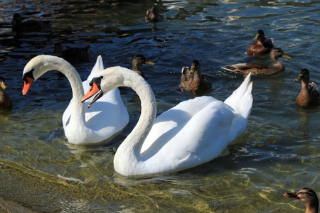 Beautiful white swan with wings and mouth open to express it is angry among ducks and next to another swan photo