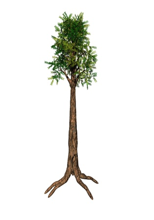 Sequoia tree isolated on white background Stock Photo