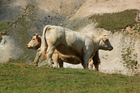 Two white cows in th mountain by summer photo