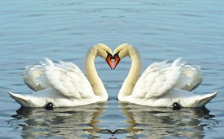 Beautiful white loving swans floating with their wings open on water lake of Geneva, Switzerland
