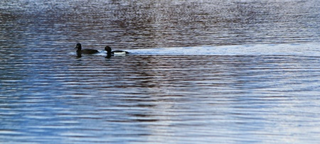 Couple of black ducks swimming quietly on the waterlake Stock Photo - 13917156